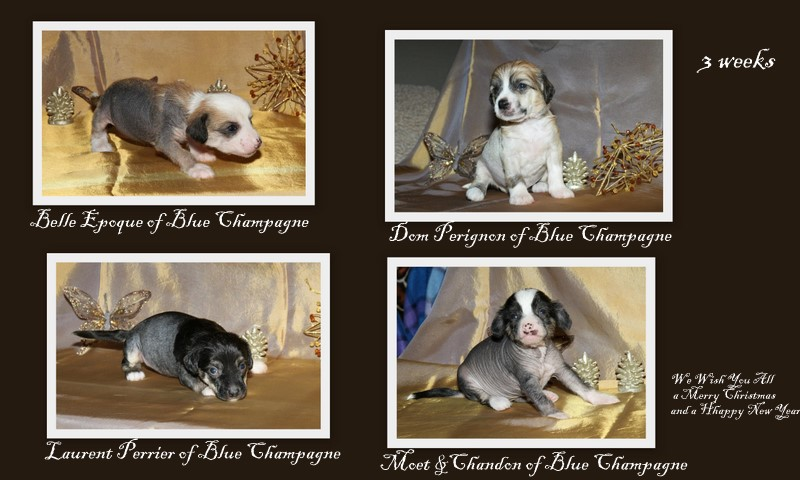 Highlights - Blue Champagne Chinese Crested Dogs